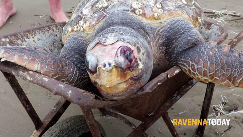 tartaruga gigante trovata morta in spiaggia a lido adriano